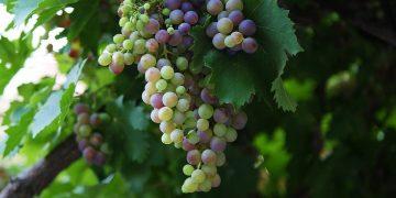 Виноград - идеальный продукт для красоты кожи